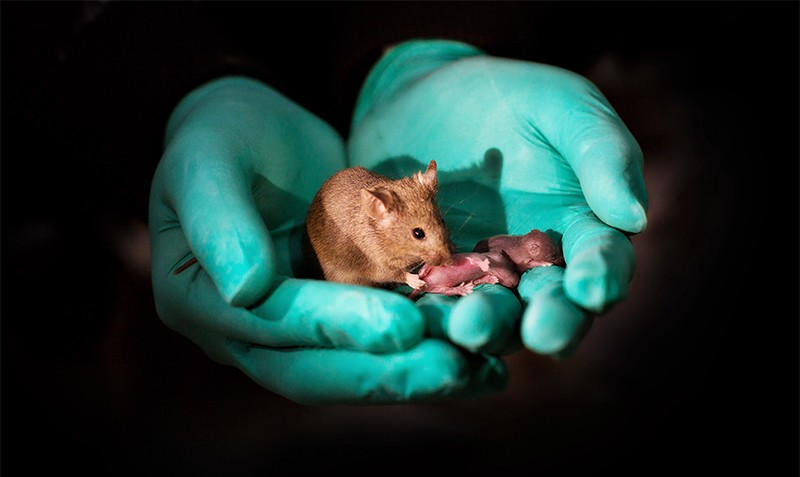 Healthy adult bimaternal female mouse (born to two mothers) with her own offspring