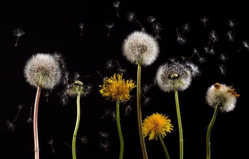 Revealed The Extraordinary Flight Of The Dandelion