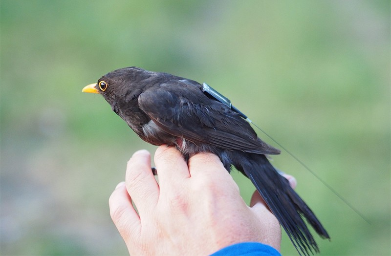 A blackbird with an ICARUS tag on his back perches on a hand
