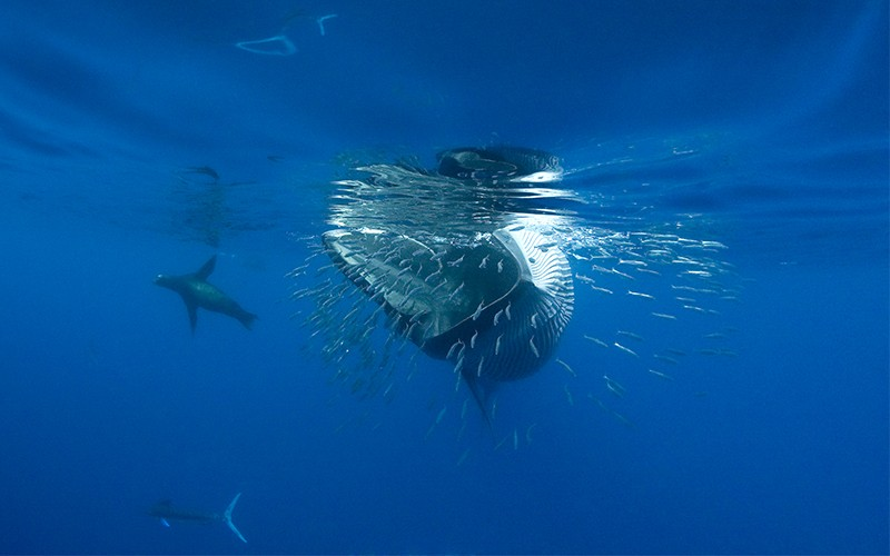 A Bryde's whale opens its mouth to gulp a baitball of sardines. Various other marine animals are swimming in the background.