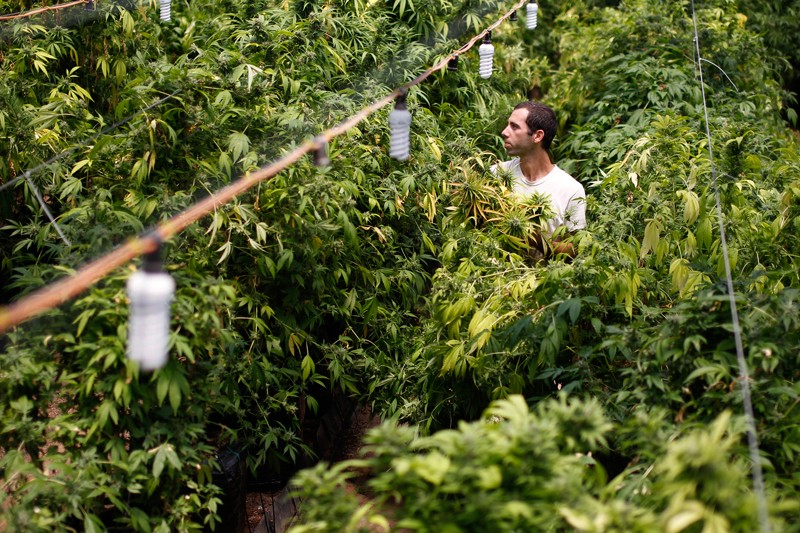A worker harvests cannabis plants at a plantation in Israel