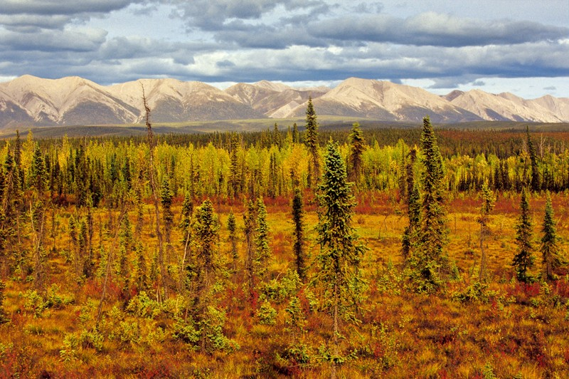 Boreal forest in the Yukon, Canada