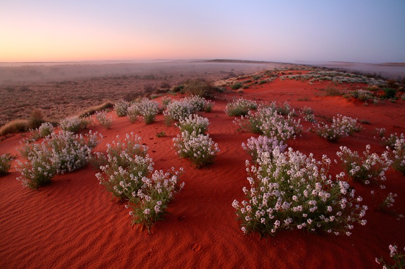 Wildflowers growing in the Simpson Desert, Australia