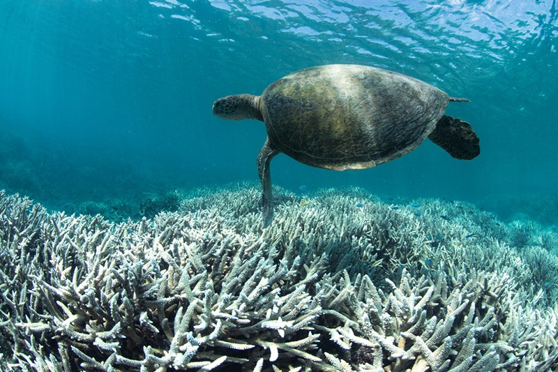 A turtle swims above bleached coral