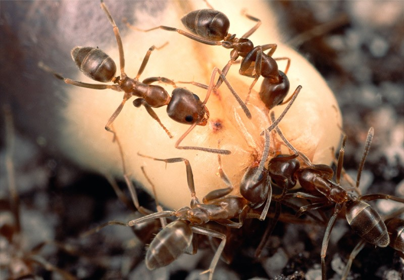 Argentine Ant (Linepithema humile) group feed on soft nutritious eliasome at the tip of a fynbos shrub and discard the seeds