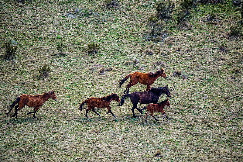 Australian scientists call for 'feral horse' culls in alpine national park