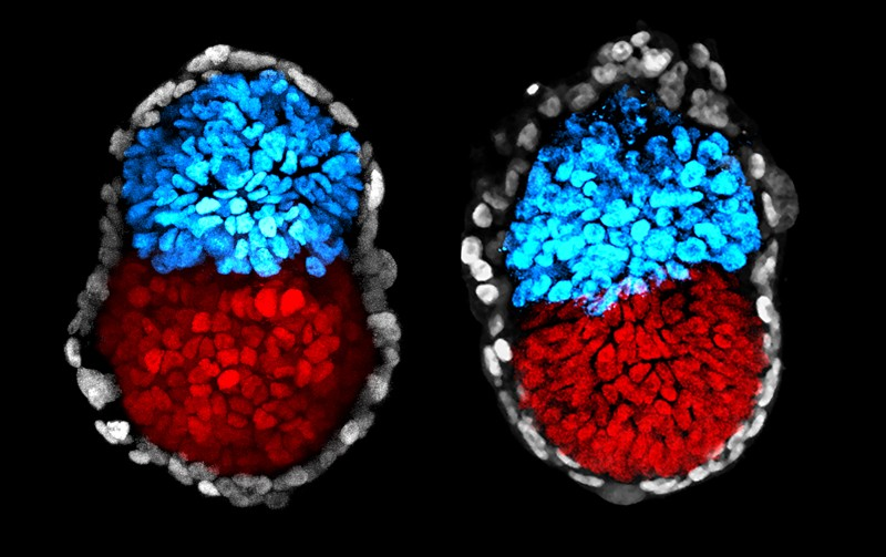 Mouse stem cell colony compared with a natural embryo