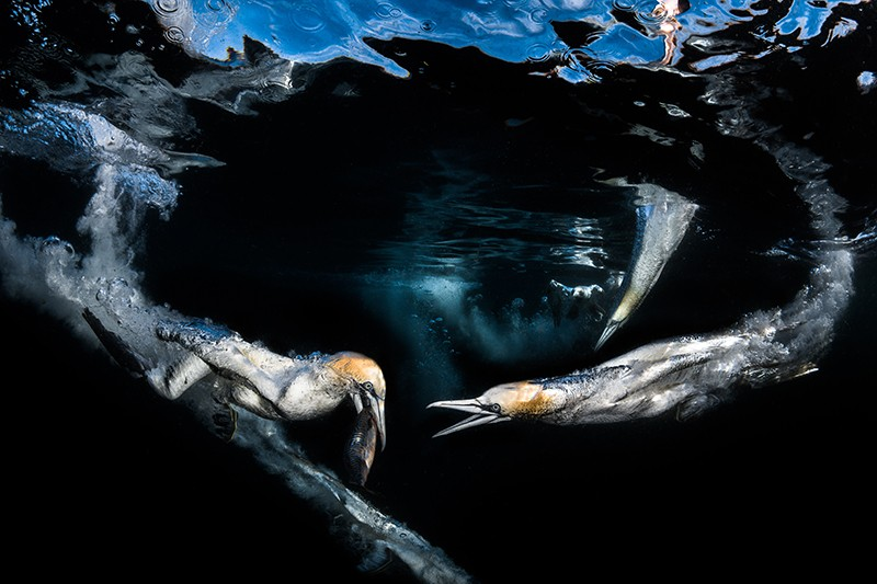 Gannets hunt pelagic fish like mackerel by diving into the sea from a height of 30 meters.