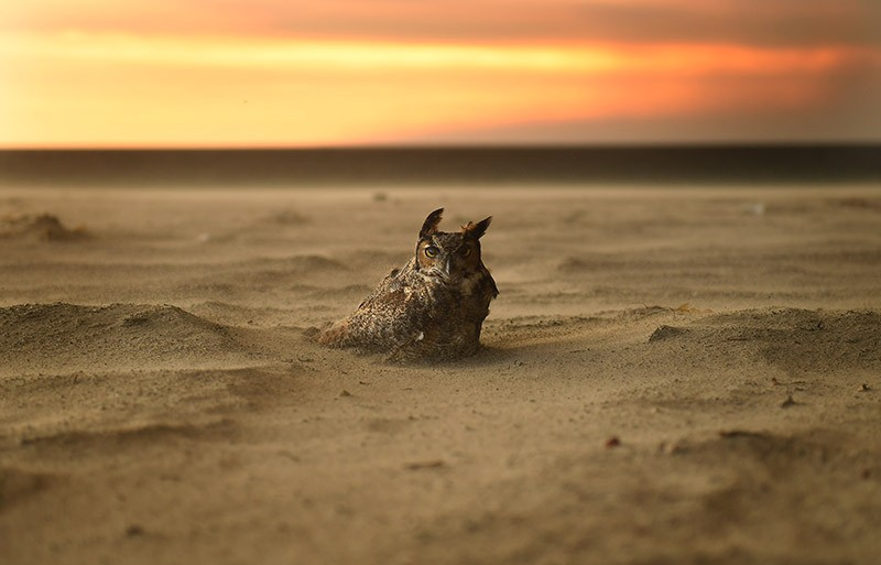 An owl sits on the beach in Malibu as the Woolsey Fire approaches