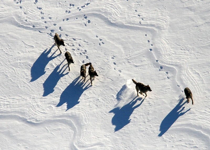 Wolves in U.S. Isle Royale National Park, Minnesota