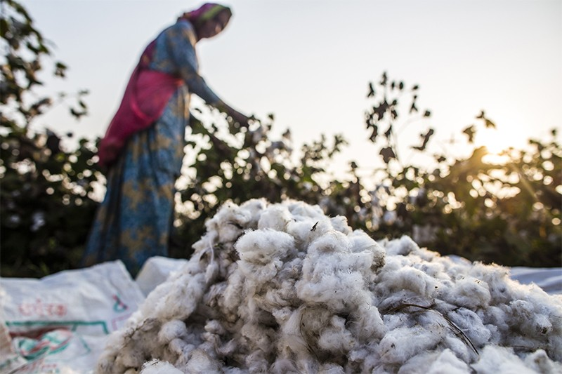 A pile of harvested cotton sits in a pile in the foreground, while a farmer collects cotton in the background. India, 2014.