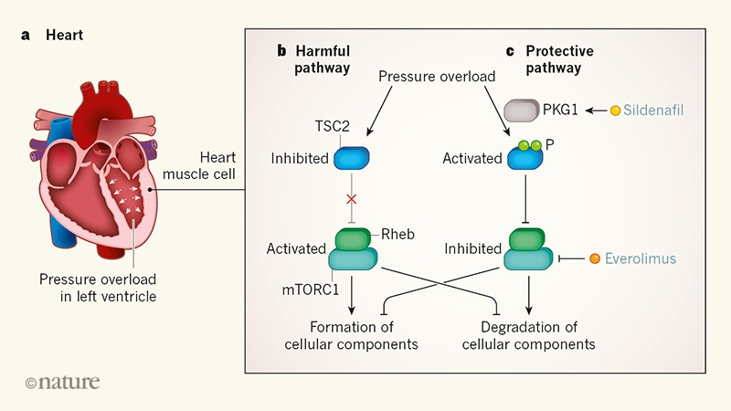 Signalling protein protects the heart muscle from pressure-related stress