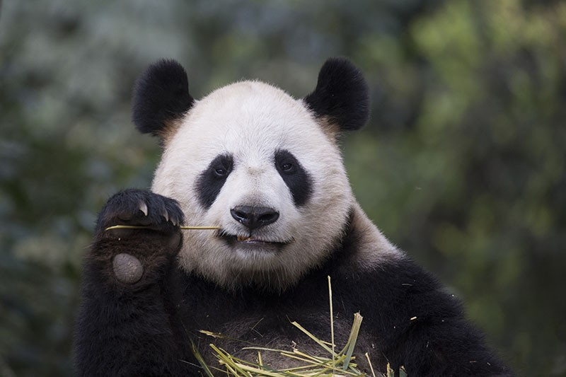 Giant panda feeding on bamboo