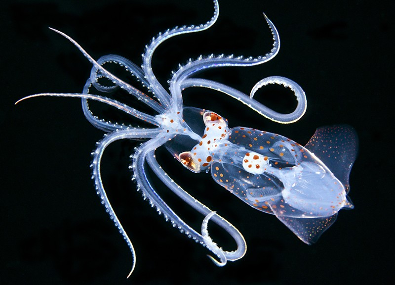 Arctic hunters, see-through squid and star birth — January's best science images