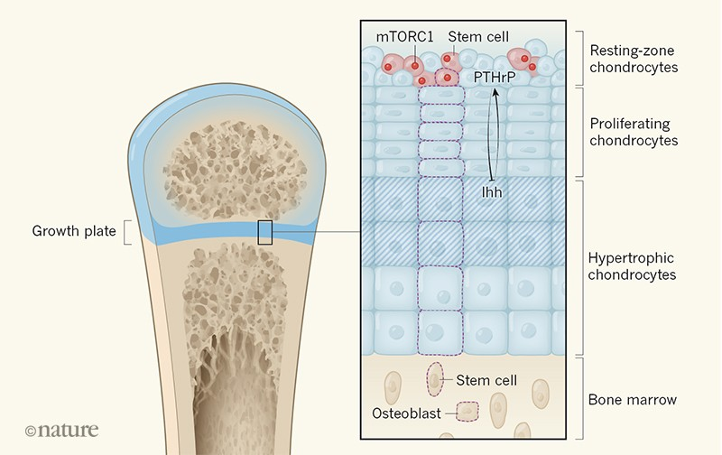 A newly discovered stem cell that keeps bones growing