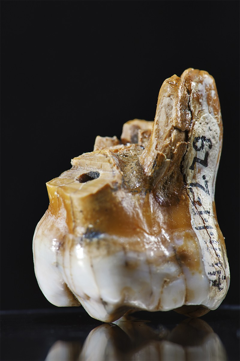 Molar tooth of 'Denisova 4' on a plain background, found at the archeological site of Denisova Cave