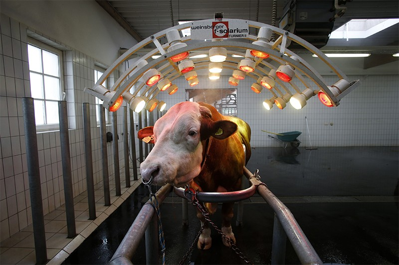 Breeding bull standing under infrared lights, used to relax his muscles, at an artificial insemination centre in Holland