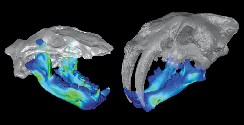Scanned skulls of the extinct marine mammal (Kolponomos) and a sabretooth cat (Smilodon).