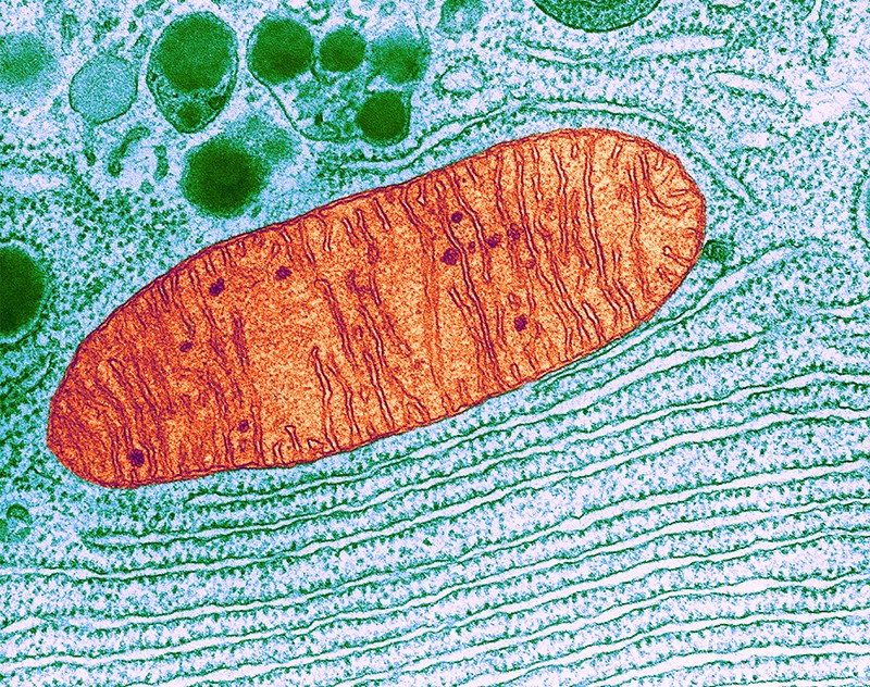 Color enhanced transmission electron micrograph of a mitochondrion inside a cell.