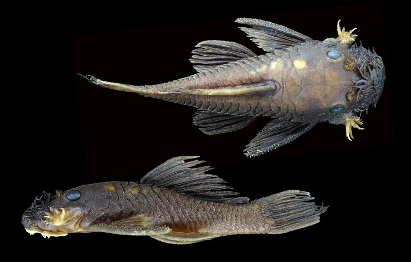 Two images of Ancistrus patronus, new catfish species, named for the genus's paternal care of offspring. Holotype, AUM 39876