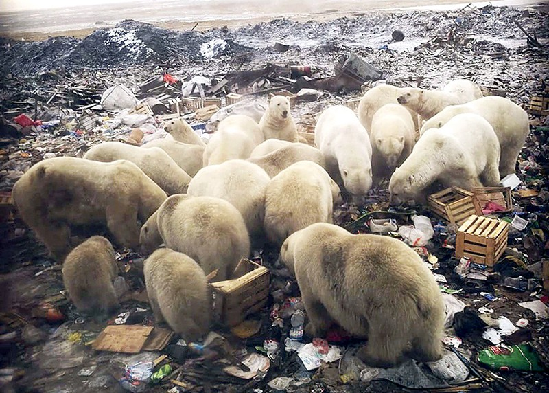 Group of polar bears foraging for food at a large rubbish tip in Belushya Guba, Russia