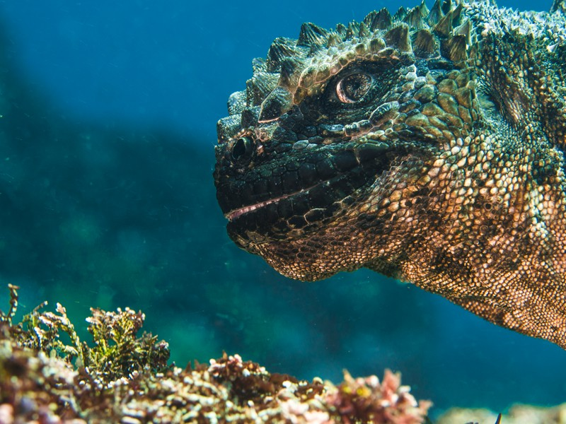 Head of a marine iguana appearing to smile at the camera. Runner-up in the Underwater Photographer of the Year 2019 competition