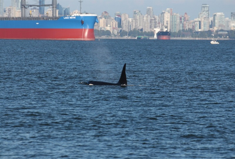 Southern resident killer whale surfacing t Vancouver Port Harbour with shipping vessels and the city in the background