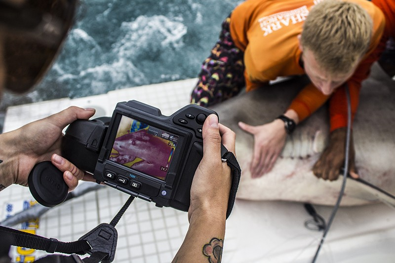 A scientist restrains a female bull shark in order to capture a thermal image