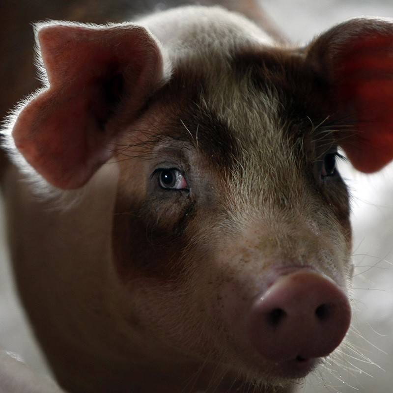 A pig is inside its enclosure at a pig farm