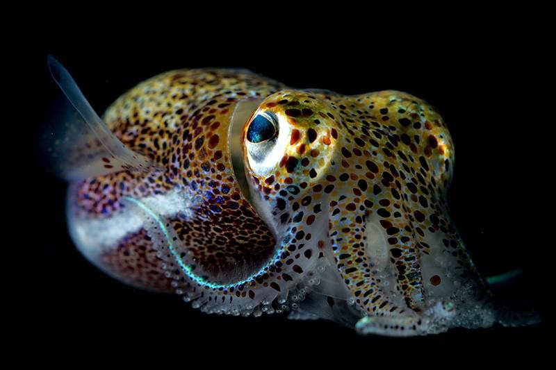 Hawaii Rice Tail Squid