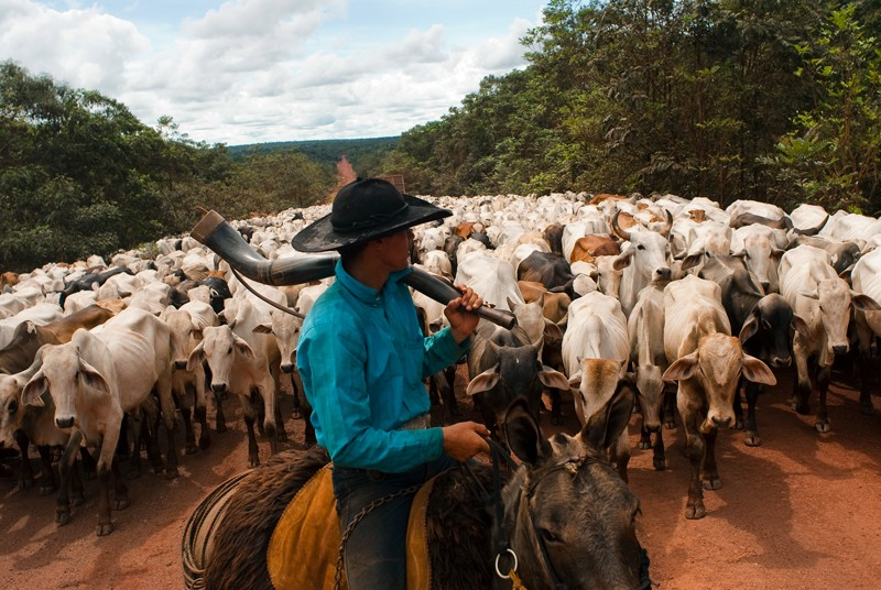A Brazilian rancher guides a herd of cattle along a road through the forest