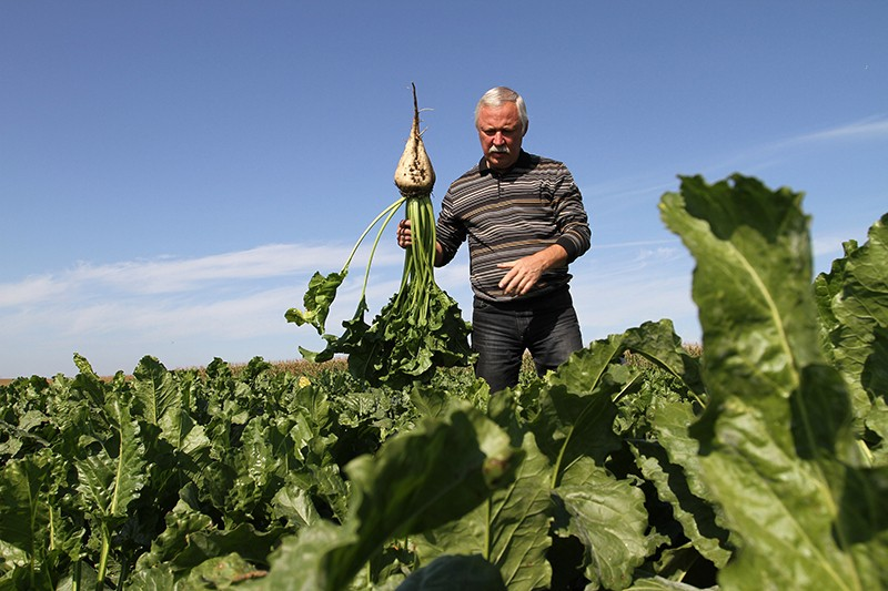 A farmer selects sugar beet plants for inspection before harvesting at Seym village in Kursk region, Russia.