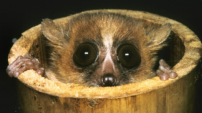 A mouse lemur (Microcebus rufus) peering out of a bamboo shoot