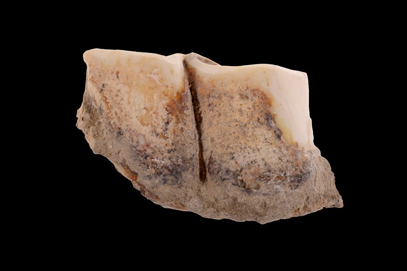 Isolated left lower molar of a Stephanorhinus from Dmanisi
