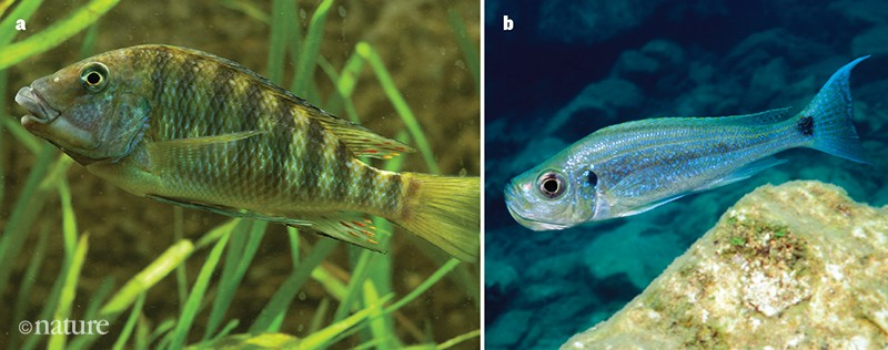 Petrochromis polyodon and Haplotaxodon microlepis