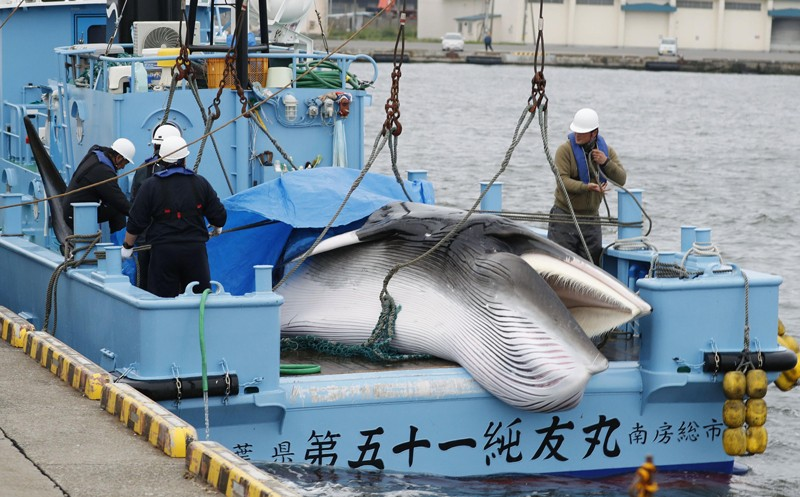 A minke whale is unloaded from a Japanese vessel at Kushiro port in Hokkaido, northern Japan