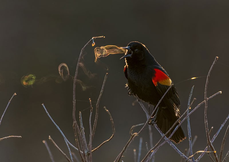 "A red-winged black bird with breath forming ""smoke rings"" as it sings"