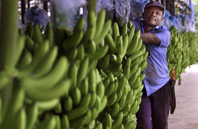 A worker at a multi-national banana company selects bananas for export in Uraba, Colombia