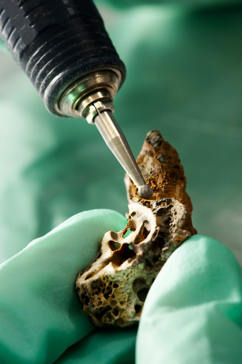 A scientist samples an archaeological specimen of the Petrous part of the temporal bone of human remains for radiocarbon dating,