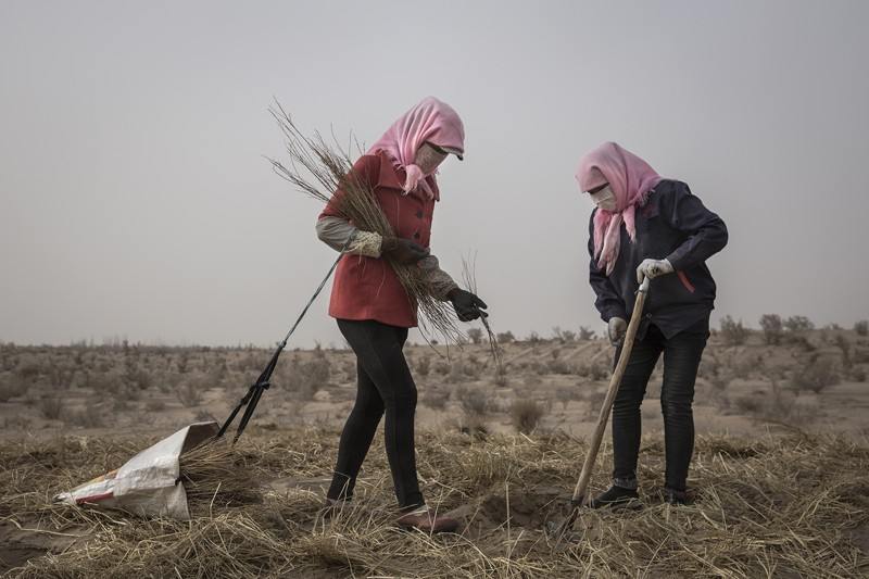 Local women plant saxaul in the desert at Mingqin county on March 27th, 2019 in Wuwei, Gansu Province. China.