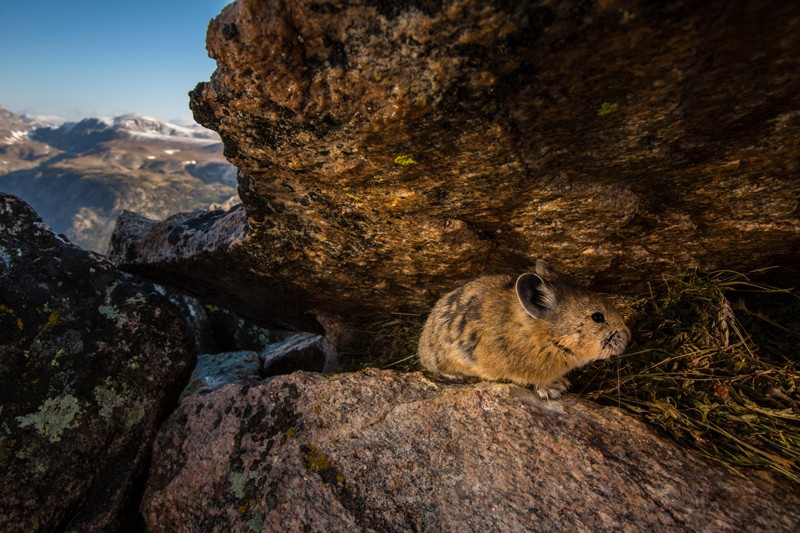 A remote camera captures a pika in Wyoming's Greater Yellowstone Ecosystem
