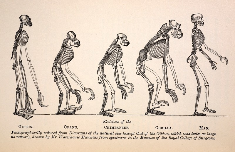 "The Frontis engraving from the first edition of Huxley's 1863 ""Evidences as to Man's Place in Nature"" showing primate skeletons"