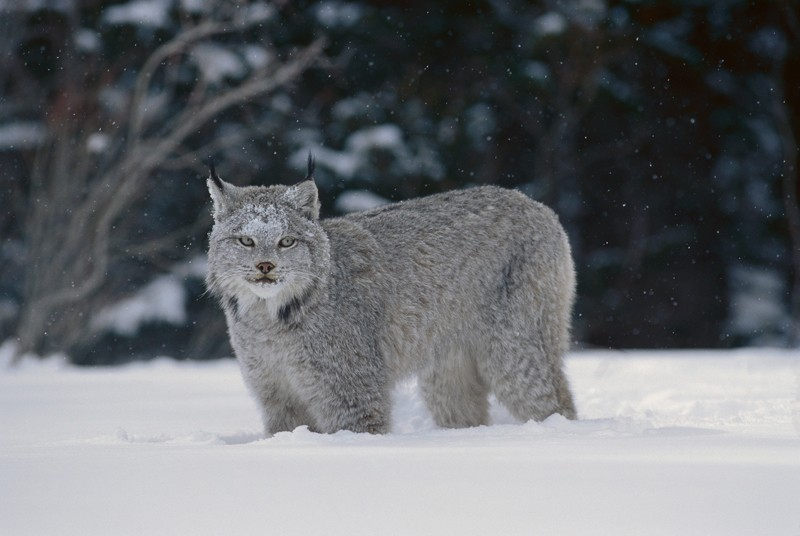 Canada Lynx in snow, North America