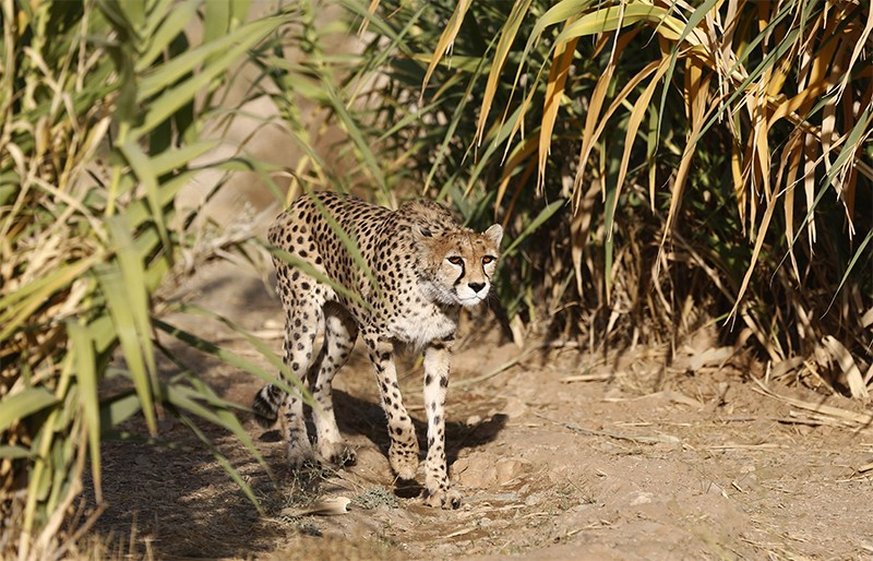 A female Asiatic cheetah named 'Dalbar' walks between greenery in an enclosure at Pardisan Park in Tehran, Iran.