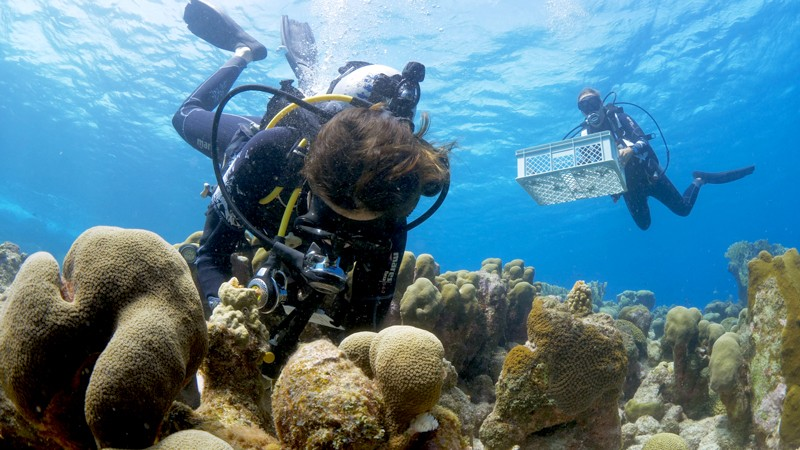 Divers deposit raised coral babies back on the reef around Curaçao island