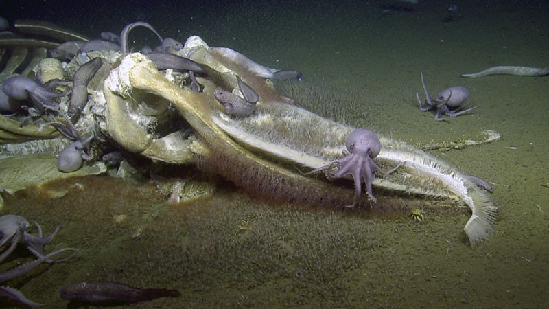 A whale being devoured by deep-sea octopuses off the coast of California