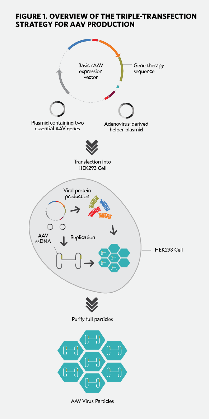 Overview Of The Triple Transfection Strategy For AAV Production