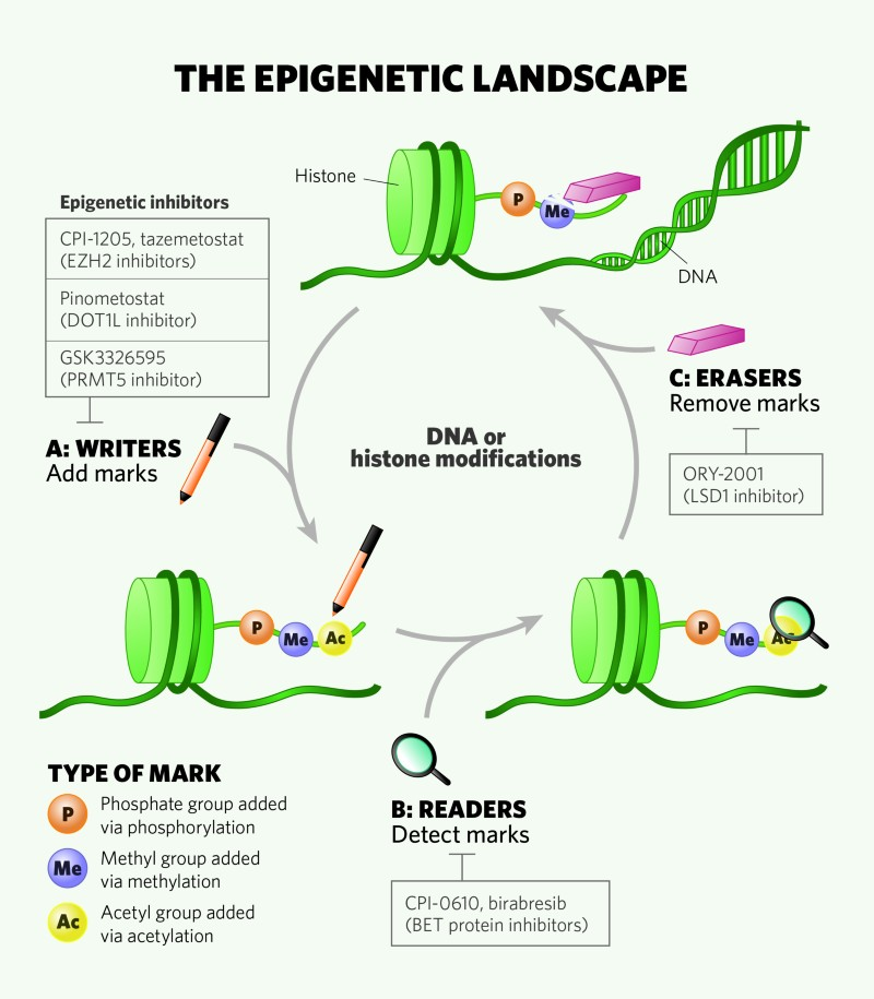 Epigenetic regulators control protein function and stability as well as gene transcription, DNA replication and DNA repair.