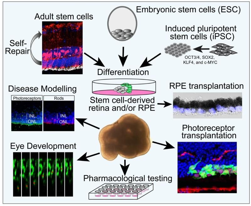 Stem cells for retinal biology, disease modelling and repair